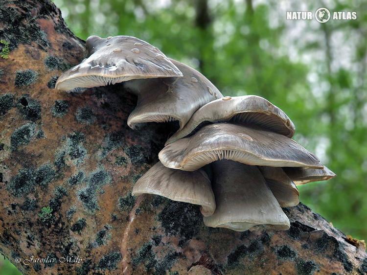 hlíva čepičkatá (Pleurotus calyptratus)
