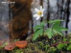 hlízenka sasanková (Dumontinia tuberosa)