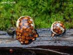 hnízdovka nacpaná (Nidularia deformis)