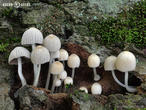 hnojník nasetý (Coprinellus disseminatus)