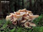 houžovec hlemýžďovitý (Lentinellus cochleatus)