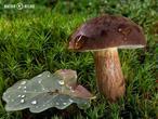 hřib hnědý (Imleria badia)