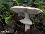slizobedla slzivá (Limacella guttata)