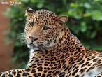levhart jávský (Panthera pardus melas)