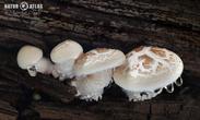 houževnatec šupinatý (Neolentinus suffrutescens)
