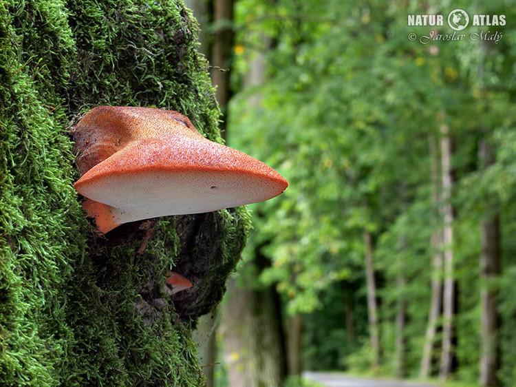 pstřeň dubový (Fistulina hepatica)