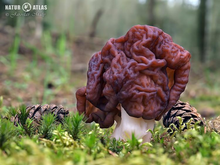 ucháč obecný (Gyromitra esculenta)