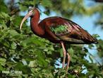 ibis hnědý (Plegadis falcinellus)