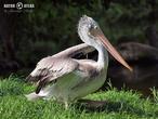pelikán kadeřavý (Pelecanus crispus)