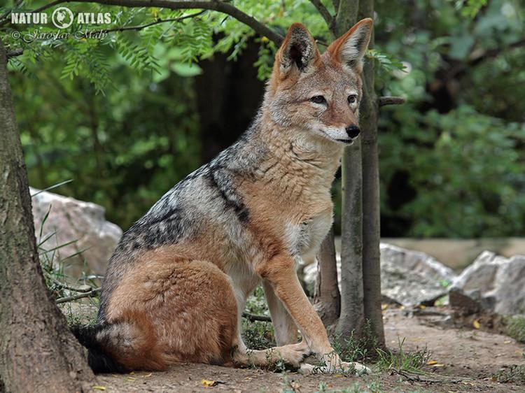 šakal čabrakový (Canis mesomelas)